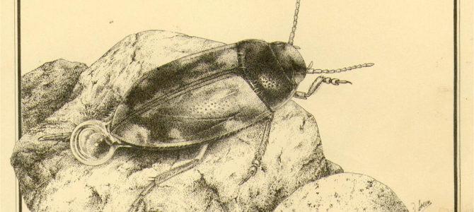 Détermination des Hydroporus