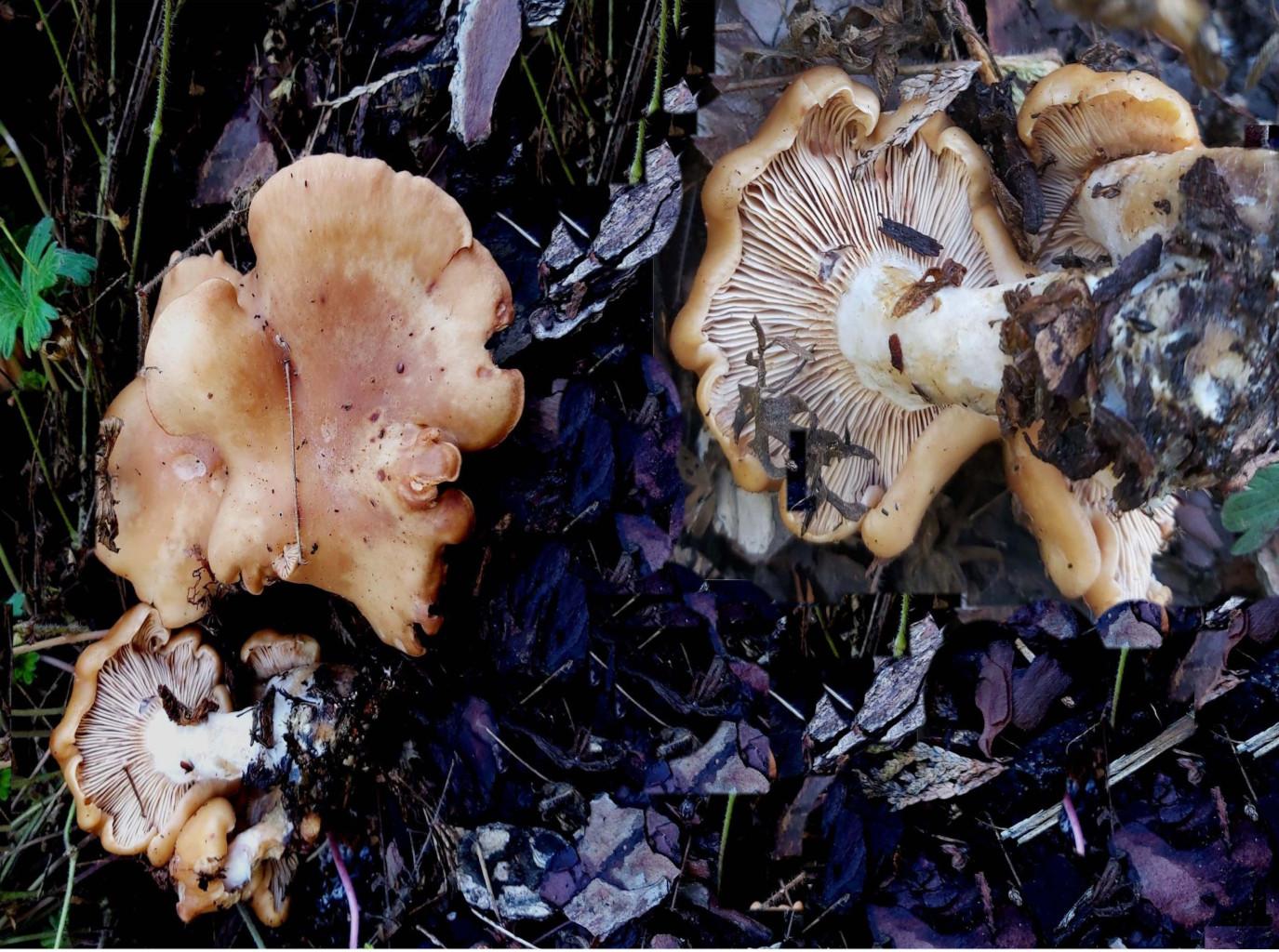 Rhodocybe gemina (fr.) Kuyper & Noordel